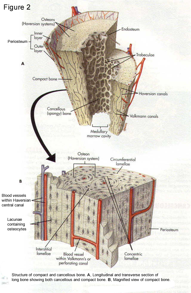 Basic Biology Of Bone Team Bone