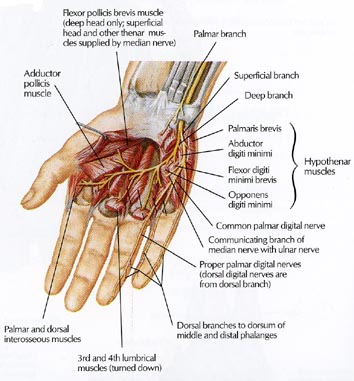 Anatomy of the Hand | Team Bone