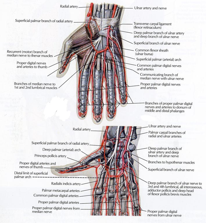 Anatomy Of The Hand Team Bone